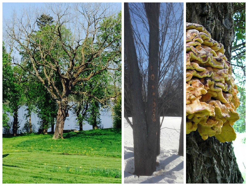 arbre mort-champignon-abattage arbre